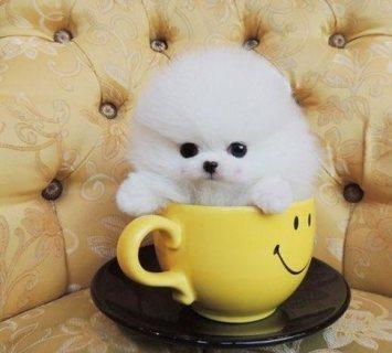 لطيف فنجان كلب صغير طويل الشعر للبيع.