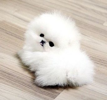 ///لطيف فنجان كلب صغير طويل الشعر للبيع.