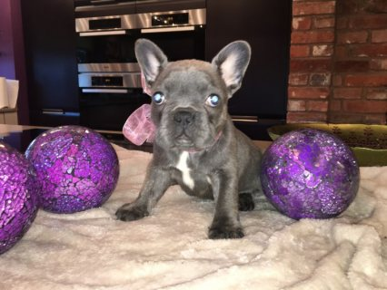 Stunning French Bulldog Puppies available