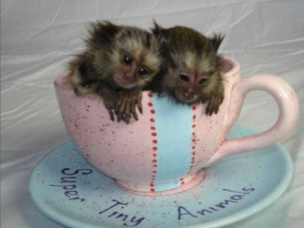 Finger Baby Marmoset Monkeys Available