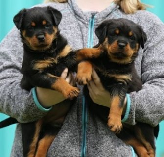 Rottweiler Puppies Ready For Sale