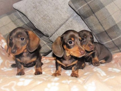 Dachshund Puppies For Sale.