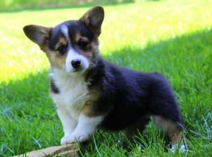 Sweet adorable Pembroke welsh corgis for sale