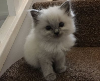 Awesome Ragdoll kittens available for sale