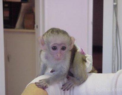 Quality train Capuchin Monkeys for sale