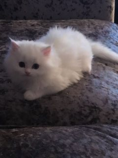 Super cute Persian kittens for sale