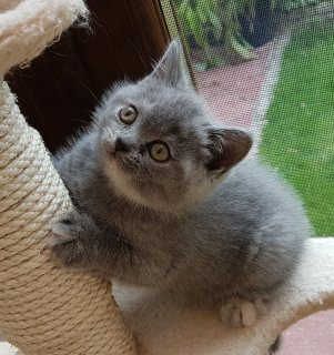 Awesome British short hair kittens for sale