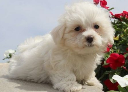 Clean quality Maltese puppies for sale