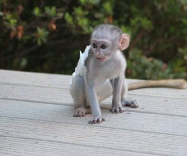 Trained Capuchin monkeys for sale