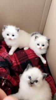 Sweet Ragdoll kittens for sale