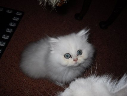 Quality white Persian kittens for sale