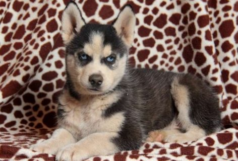 Clean Siberian husky puppies for sale