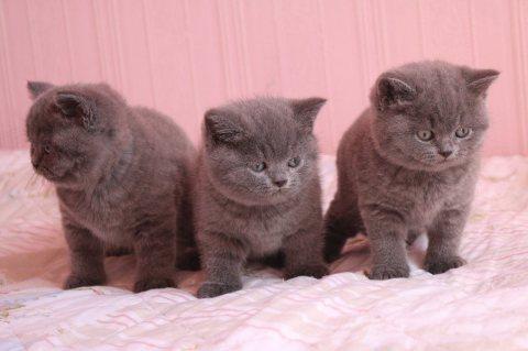 Sweet British short hair kittens for sale