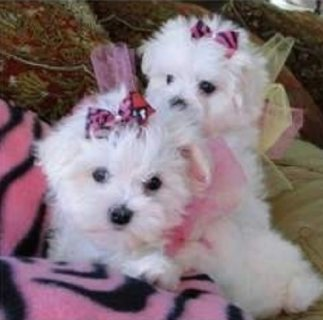 Quality home raise Maltese puppies for sale