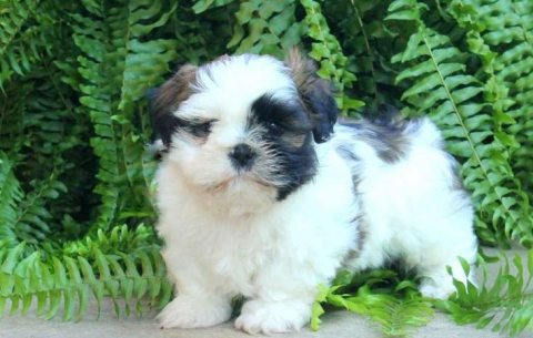 Clean Shih Tzu puppies for sale