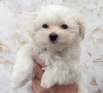 Top class Maltese puppies for sale