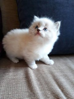 Quality Ragdoll kittens for re-homing