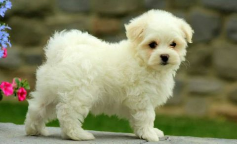 Good quality Maltese puppies for re-homing