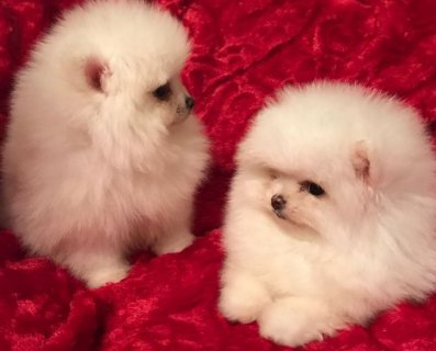 Pomeranian puppies available for sale