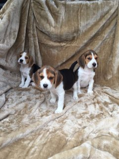 Outstanding Beagle Puppies