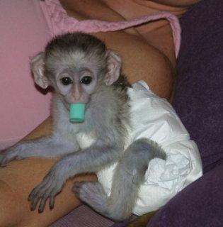x...Male and female Capuchin monkeys for sale