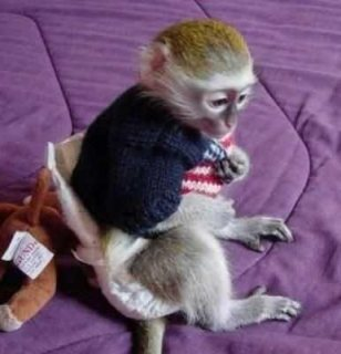 vv..Male and female Capuchin monkeys for sale