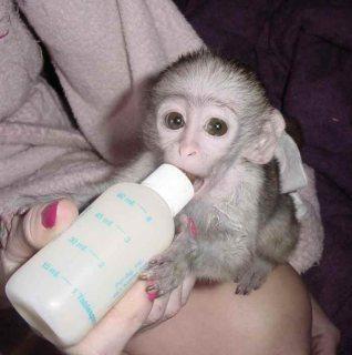 c...Male and female Capuchin monkeys for sale