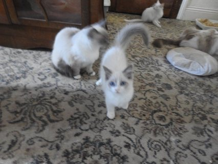 Awesome Ragdoll kittens for sale