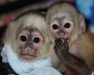 Super cute Capuchin monkeys for sale