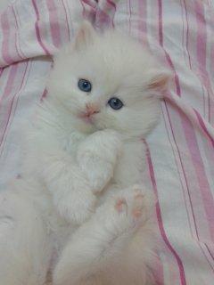 صورة الأولى قطط شيرازية أصلية بيضاء صغيرة عيون زرقاء للبيع