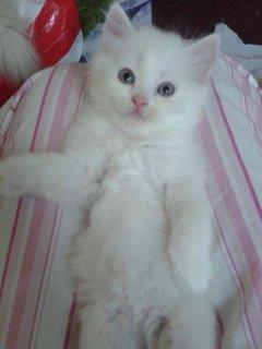 قطط شيرازية أصلية بيضاء صغيرة جميلة للبيع