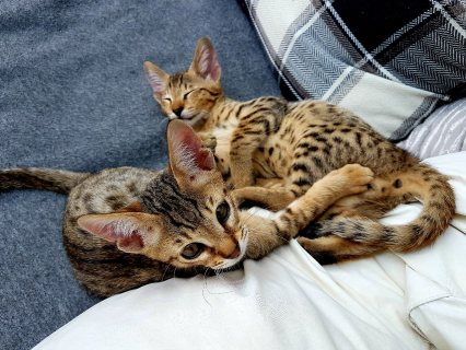 3 Savannah Kittens for sale