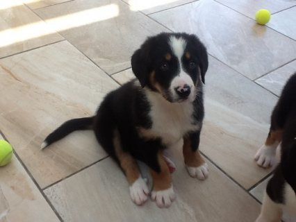 Cute Bernise Mountain Dog For Sale