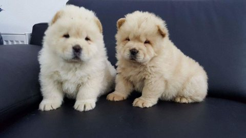 Charming Chow Chow Puppies Ready