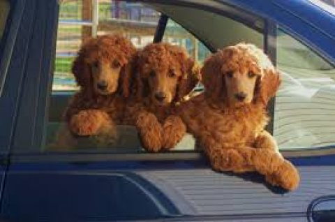 Home Trained Standard Poodle Puppies for sale قربات - 12713
