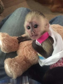 Clean home raise Capuchin monkeys for Christmas