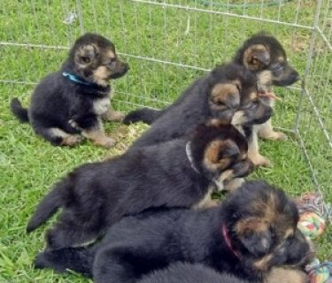 صور German Shepherd Puppies 1