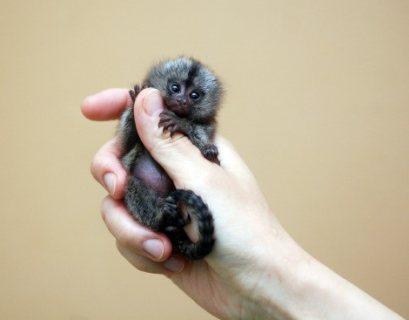 Female Marmoset Monkey for Sale