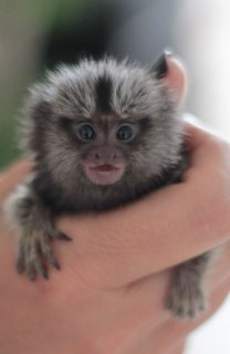 Hand Raised Male and Female Marmoset Monkeys