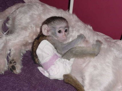 Diapers trained Capuchin Monkeys For Sale