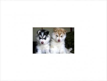 Male and Siberian husky pupies for rehoming