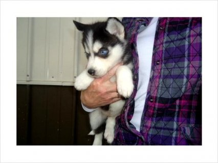 Awesome siberian husky puppies ready to go now