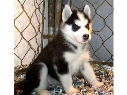 A KC Home Raised Siberian Husky Puppies Ready To Go Now