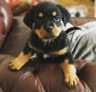 Special little Rottweiler puppies for Sale