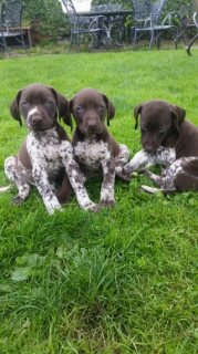 Beautiful German Pointer Puppies For Sale