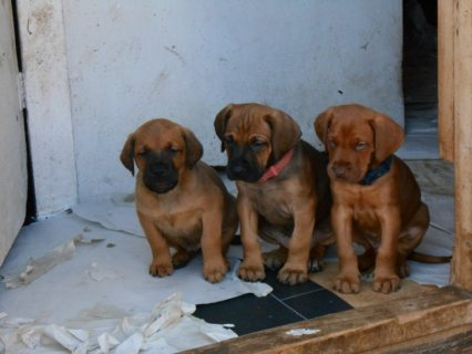 Chunky Mastiff Puppies For Sale