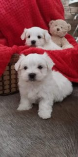 Beautiful Morkie Pups For Sale