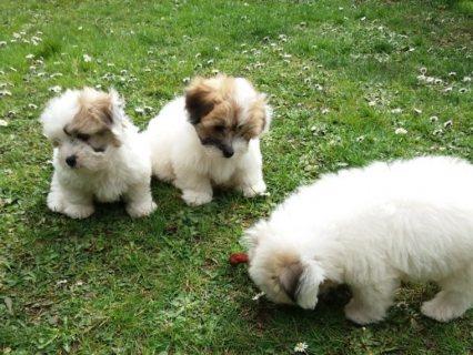 Kc Registered Coton De Teular Puppies For Sale