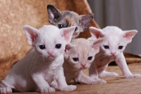 weeks Devon Rex Breeders Devon Rex Cat Breeders