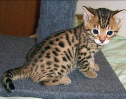 SExotic bengal kitten